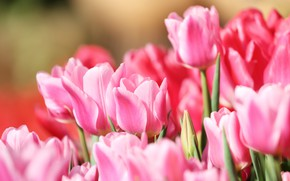Picture macro, tulips, pink, buds