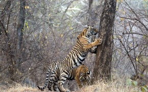 Picture tigers, Ranthambhore NP, If