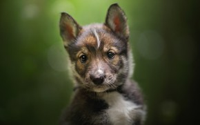 Picture look, background, puppy, face, bokeh, The tamaskan dog