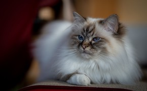 Picture cat, cat, look, pose, chair, muzzle, lies, fluffy, ragdoll