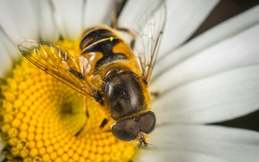 Picture Close-Up, Macro, Fly, Egor Kamelev, Eyes, by Egor Kamelev, Insect, Fly, Plant, Macro, Wings, Flower, …