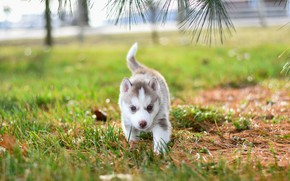 Picture grass, branches, pose, background, glade, dog, baby, puppy, walk, face, needles, husky, bokeh, Siberian husky