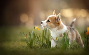 Picture dog, spring, puppy