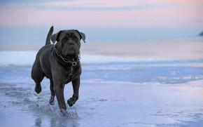 Picture water, dog, walk, Cane Corso, Svetlana Pisareva