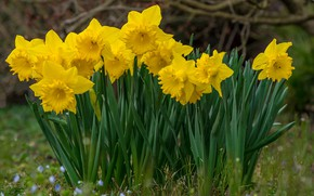 Picture Bush, spring, flowerbed, daffodils
