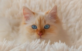 Picture cat, white, cat, look, comfort, kitty, portrait, pile, fluffy, red, bed, plaid, kitty, blue eyes, …