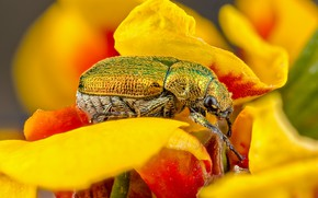 Picture flower, macro, yellow, green, background, beetle, petals, insect