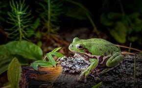 Picture macro, the dark background, vegetation, frog, log, black background, green