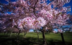 Picture trees, spring, garden, New Zealand, flowering, New Zealand, flowers