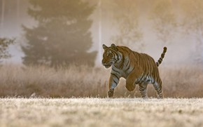 Picture nature, tiger, walk