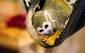 Picture look, yellow, pose, background, monkey, hammock, tail, plaid, face, cub, monkey, bokeh, squirrel monkeys