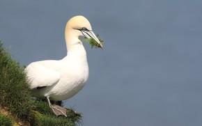 Picture grass, nature, Bird, Gannet