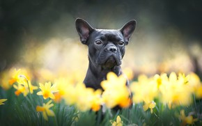 Picture look, face, flowers, dog, daffodils, French bulldog