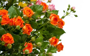 Picture white, close-up, background, roses, bouquet