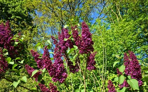 Picture the sun, nature, flowering, the bushes, lilac