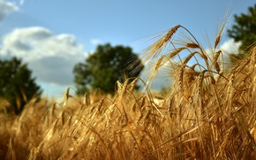 Picture Golden, a lot, rye, light, summer, nature, barley, trees, barley, spikelets, field, cereals, yellow, rye, …