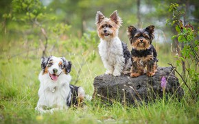 Picture dogs, summer, grass, look, pose, stone, three, trio, friends, sitting, Yorkshire Terrier, Australian shepherd, Trinity, …