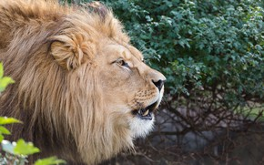 Picture face, Leo, mane, the king of beasts, profile, wild cat