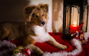 Picture look, light, pose, candle, dog, Christmas, lantern, puppy, New year, fabric, lies, tinsel, face, Christmas …