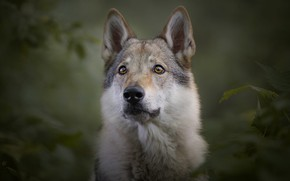 Wallpaper look, face, leaves, branches, nature, pose, green, the dark background, grey, background, wolf, portrait, dog, ...