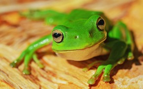 Picture look, macro, pose, frog, green, yellow background, bokeh