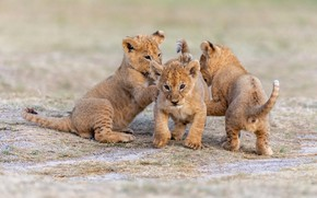 Picture nature, three, kids, the cubs, trio, lion, lion, Trinity
