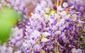 Picture flowers, branches, pink, inflorescence, lilac, bokeh, Wisteria, Wisteria