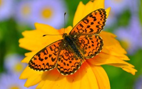Picture Flower, Macro, Macro, Flowers, Butterfly, Butterfly