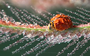 Picture water, drops, macro, light, red, droplets, Rosa, plant, ladybug, beetle, spike, bug, bokeh