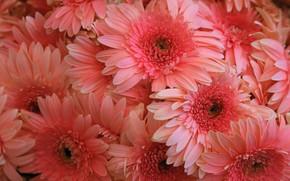 Picture macro, flowers, pink, gerbera, chrysanthemum, a lot, salmon