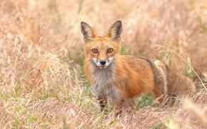 Picture grass, look, Fox, red