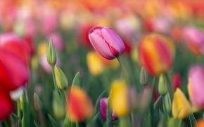 Picture field, flowers, Tulip, blur, spring, yellow, tulips, pink, orange, buds, flowerbed, a lot, bokeh