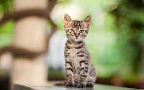 Picture cat, look, light, pose, kitty, grey, baby, kitty, face, sitting, striped, bokeh