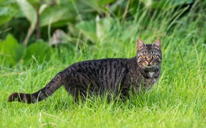 Picture greens, cat, summer, grass, cat, look, leaves, pose, grey, cat, tail, walk, striped, Kote