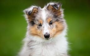 Picture dog, look, puppy, background, Sheltie, Shetland Sheepdog, face