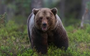 Picture forest, look, face, nature, vegetation, bear, bear, walk, handsome, brown