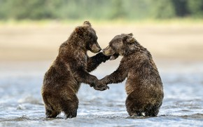 Picture pose, the game, two bears, bears, two, stand, nature, bathing, a couple, two of the …