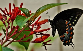 Picture flowers, butterfly, black