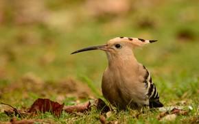 Picture background, bird, hoopoe