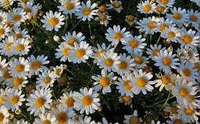 Picture chamomile, white, a lot