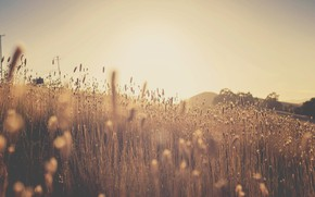 Picture field, the sun, ears, Sunset in the corn field