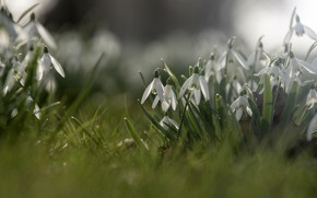 Picture flowers, glade, spring, snowdrops, white, bokeh