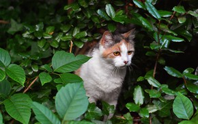 Picture greens, cat, cat, face, leaves, nature, red, the bushes