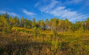 Picture field, autumn, forest, trees, grove, crown, Golden autumn, aspen