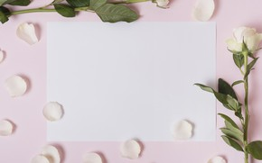 Picture flowers, roses, petals, white, white, pink background, pink, flowers, petals, roses