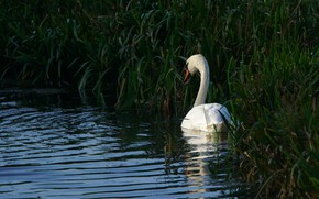 Picture white, grass, water, pond, the dark background, thickets, bird, shore, Swan, pond, circles on the …