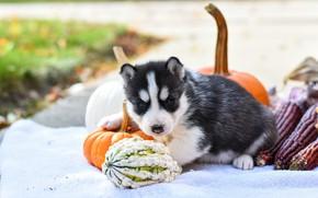 Picture autumn, pose, background, dog, corn, baby, pumpkin, puppy, fabric, lies, face, husky, Siberian husky