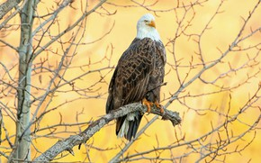 Picture branches, tree, bird, eagle, yellow background, bald eagle