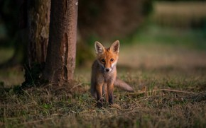 Picture forest, grass, look, trees, nature, Park, the dark background, background, glade, baby, Fox, walk, face, …