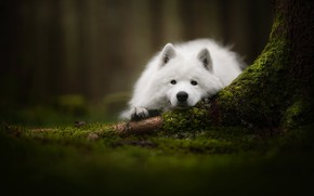 Picture look, face, moss, dog, Samoyed